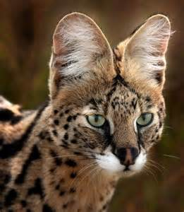 serval cats for serval animali