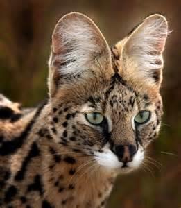 serval cat serval animali