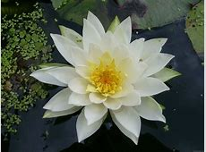 National Flower Of Guyana Water Lily 123Countriescom