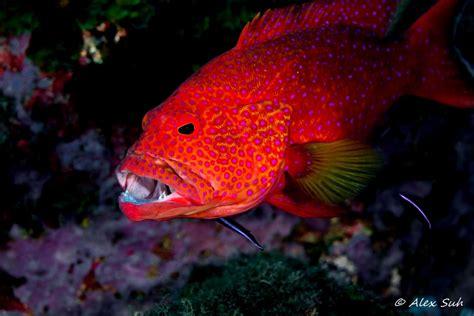 grouper cleaning station coral miniatus wet cephalopholis
