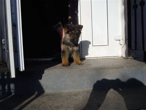 spock dog meet spockthedog weeks