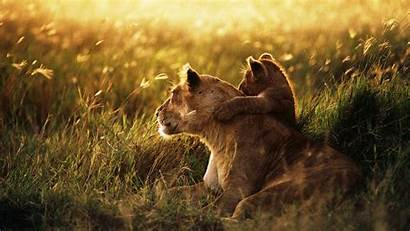 Lion Screensavers Wallpapers