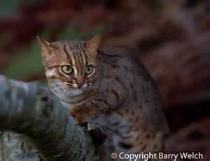spotted cats cats the spotted cat kimcion