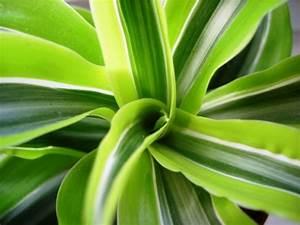 Zimmerpflanze Lange Grüne Blätter : drachenbaum dracaena deremensis lemon surprise 39 pflanzen enzyklop die ~ Markanthonyermac.com Haus und Dekorationen