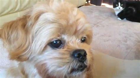mix dog poodle  pekingese youtube