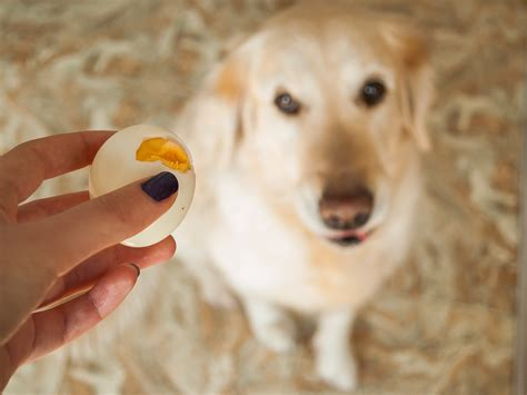 how to get your golden retriever to shed less 5 steps