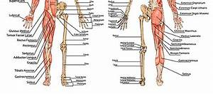 Shoulder Bones Upper Arm