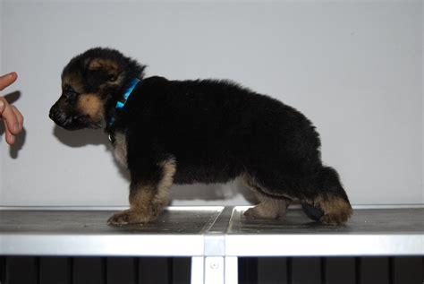 cerco in regalo cerco disperatamente un cucciolo di pastore tedesco in