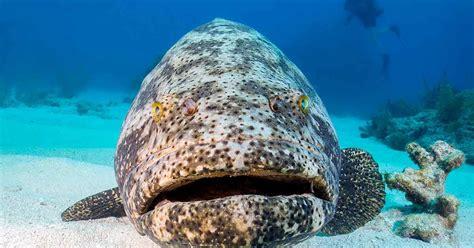 grouper goliath florida fishing season diver menu vs sportdiver skip sport population