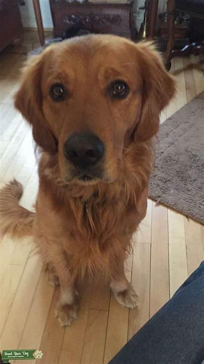 Golden Retriever Stud Dog Breed Dogs