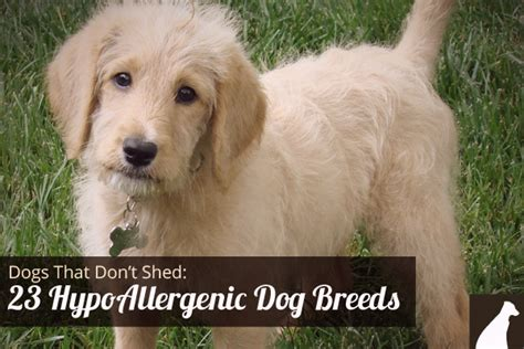 best dogs that dont shed much hypoallergenic dogs that don t shed small breeds