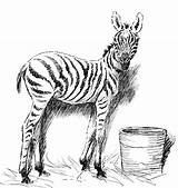 Zebra Baby Coloring Pages Animals Sketch Printable Wildlife Head Bucket Getcoloringpages Realistic sketch template