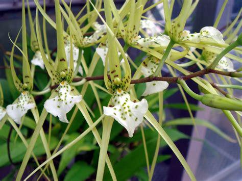 Brassia verrucosa Lindley