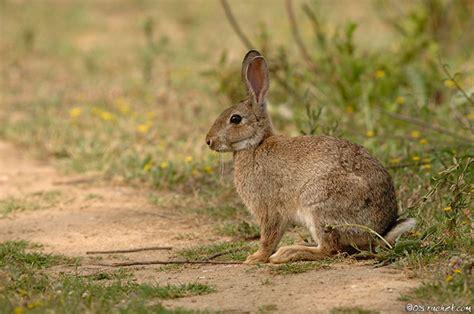 cuisiner un lapin de garenne les lapins nains lapins nac et oiseaux