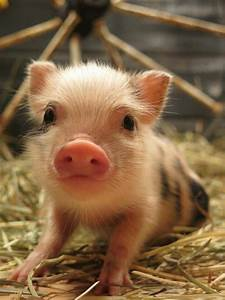 1172 Best Images About Piggies  On Pinterest