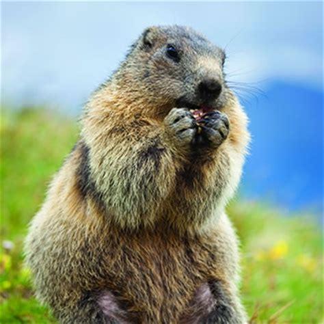 marmot catseye pest control