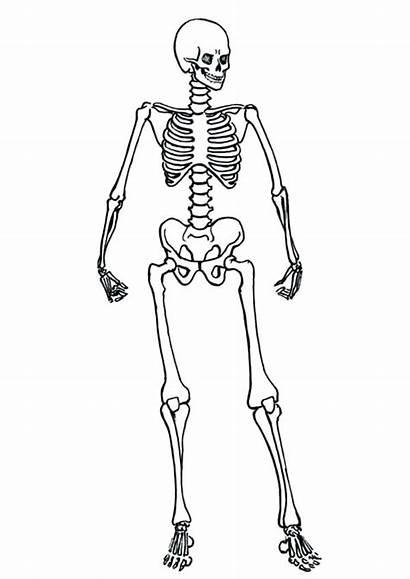 Skeleton Coloring Human Pages Anatomy Skeletal System