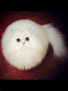 cat balls fluffball the cat cats