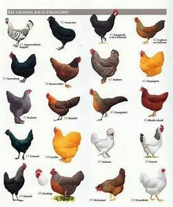 Tavuk Cinsleri Tablosu