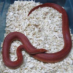 Corn Snake, Bloodred Male - Twin Cities Reptiles