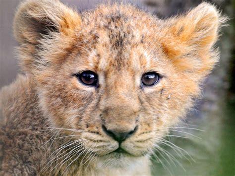 lion cubs wallpaper wallpapersafari