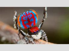 Being cute not enough for this colorful dancing spider