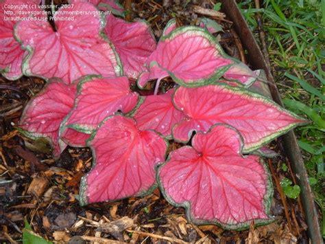 caladiums florida plantfiles pictures lance leaf caladium strap leaf caladium florida sweetheart caladium by