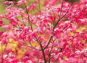 Erable Du Japon Entretien : erable du japon plantation taille et conseils d 39 entretien ~ Nature-et-papiers.com Idées de Décoration
