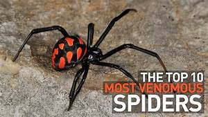 Top 10 Most Venomous and Deadly Spiders in the World - YouTube
