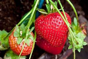 How to grow strawberries / RHS Gardening