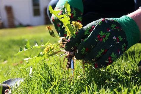 Weed And Feed  Weed Control  Canopy Lawn Care