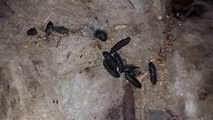 Crottes De Souris : d ratisation7 7 rats souris grasse se d barraser rats ~ Melissatoandfro.com Idées de Décoration