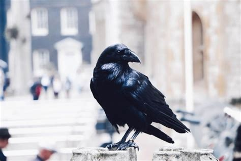 erek erek    tafsir mimpi menurut buku mimpi tentang burung gagak mamaktogel