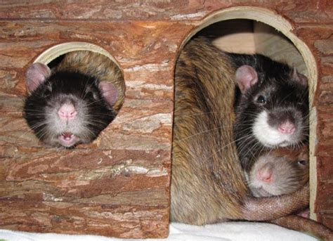 der club der rattenfreunde stellt sich vor ratten schuetzen
