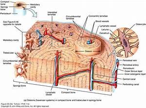 Bone Tissue Anatomy