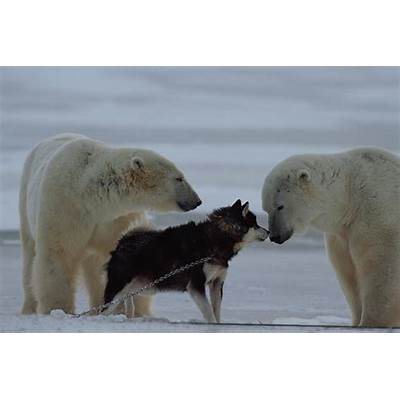 Two Polar Bears Ursus Maritimus by Norbert Rosing