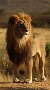 When a male African lion takes over a pride he will kill ...