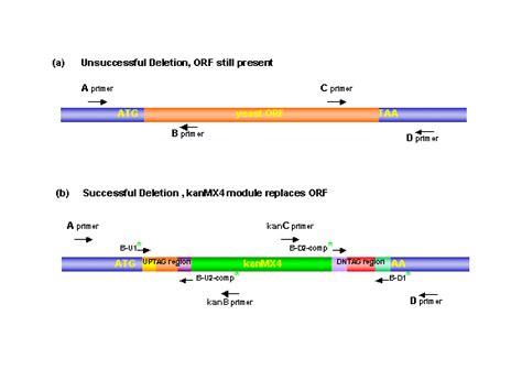 pcr primer design yeastdeletionwebpages