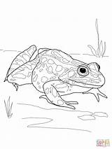 Frog Coloring Printable Pages Dart Poison Frogs Realistic Salamander Drawing Leopard Spotted Amphibian Nothern Rainforest Template Getcolorings Popular Pleasurable Colorings sketch template