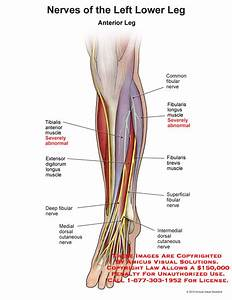 35 Nerves Of The Lower Limb Diagram