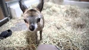 Baby klipspringer at Lincoln Park Zoo - YouTube