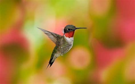 Hummingbird Hd Wallpapers  Hummingbirds Hd Images Hd