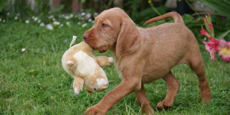 do wirehaired vizslas shed wirehaired vizsla information characteristics facts names