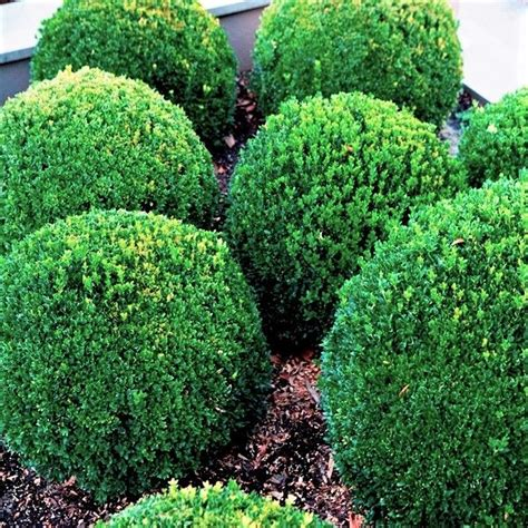 Buxus sempervirens Warners Nurseries