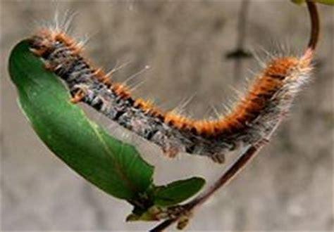 los insectos monografiascom