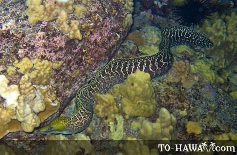 eels congridae muraenidae ophichthidae