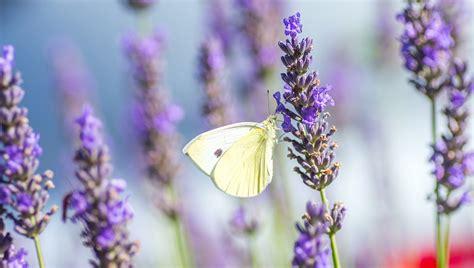 Bilder Mit Lavendel by Free Photo Butterfly Lavender Summer Violet Free