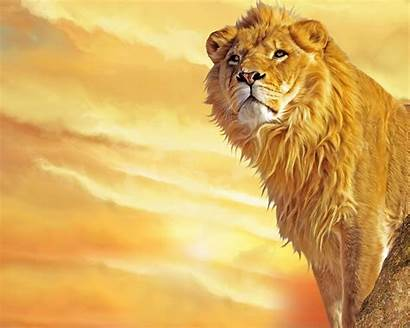 Lion Lions Wallpapers African King Animal Animals