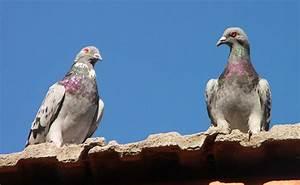 Faire Fuir Les Pigeons : comment faire fuir les pigeons de son balcon ou de son toit ~ Melissatoandfro.com Idées de Décoration