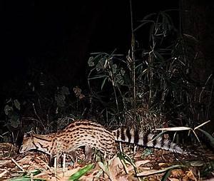 Civets - Civet Cat - Exotic Pets